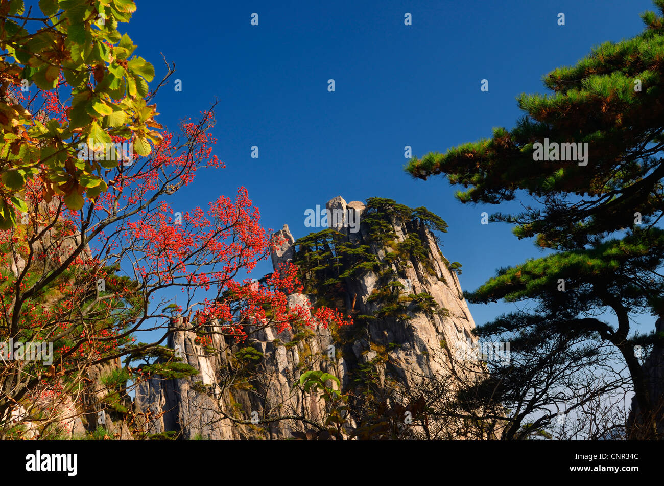Red Mountain Ash berries at Beginning to Believe Peak Yellow Mountain Huangshan China with blue sky - Stock Image