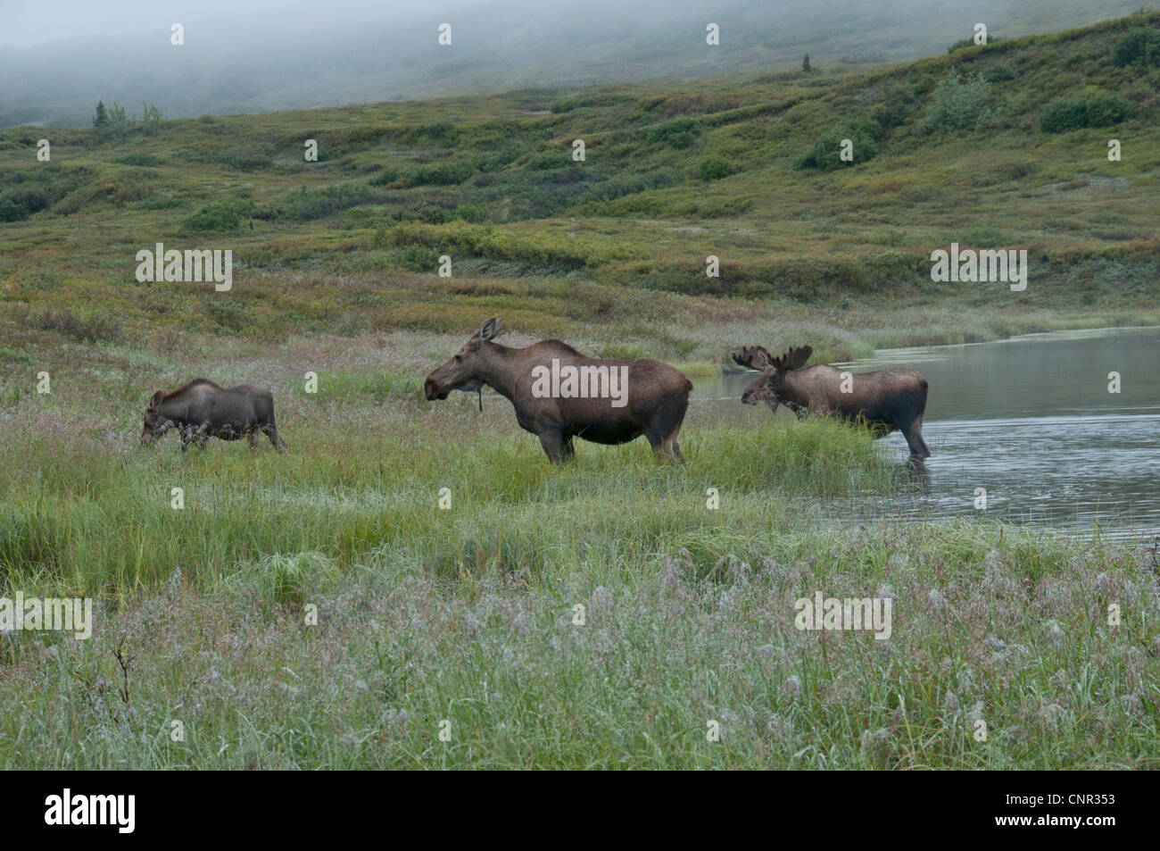 Moose (Alces alces) cow, calif and bull feeding at a pond in Denali National Park, Alaska. Morning mist shrouds - Stock Image