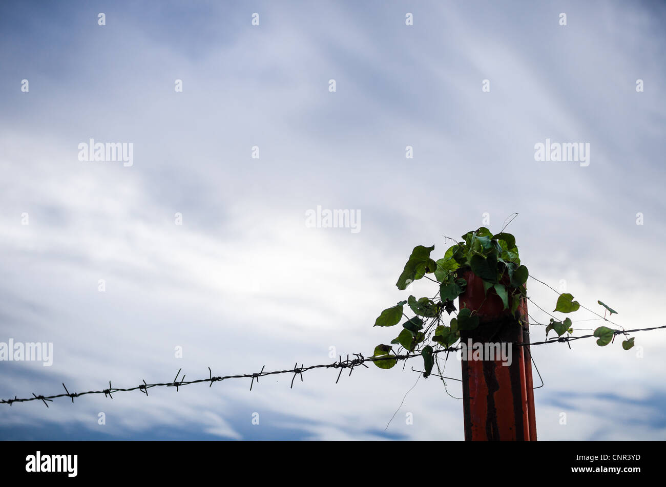 Barbed wire fence and ivy in the nature - Stock Image