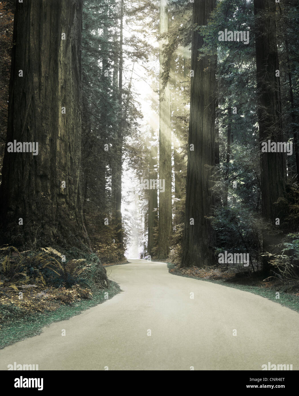 Pathway through enchanted Redwood forest - Stock Image