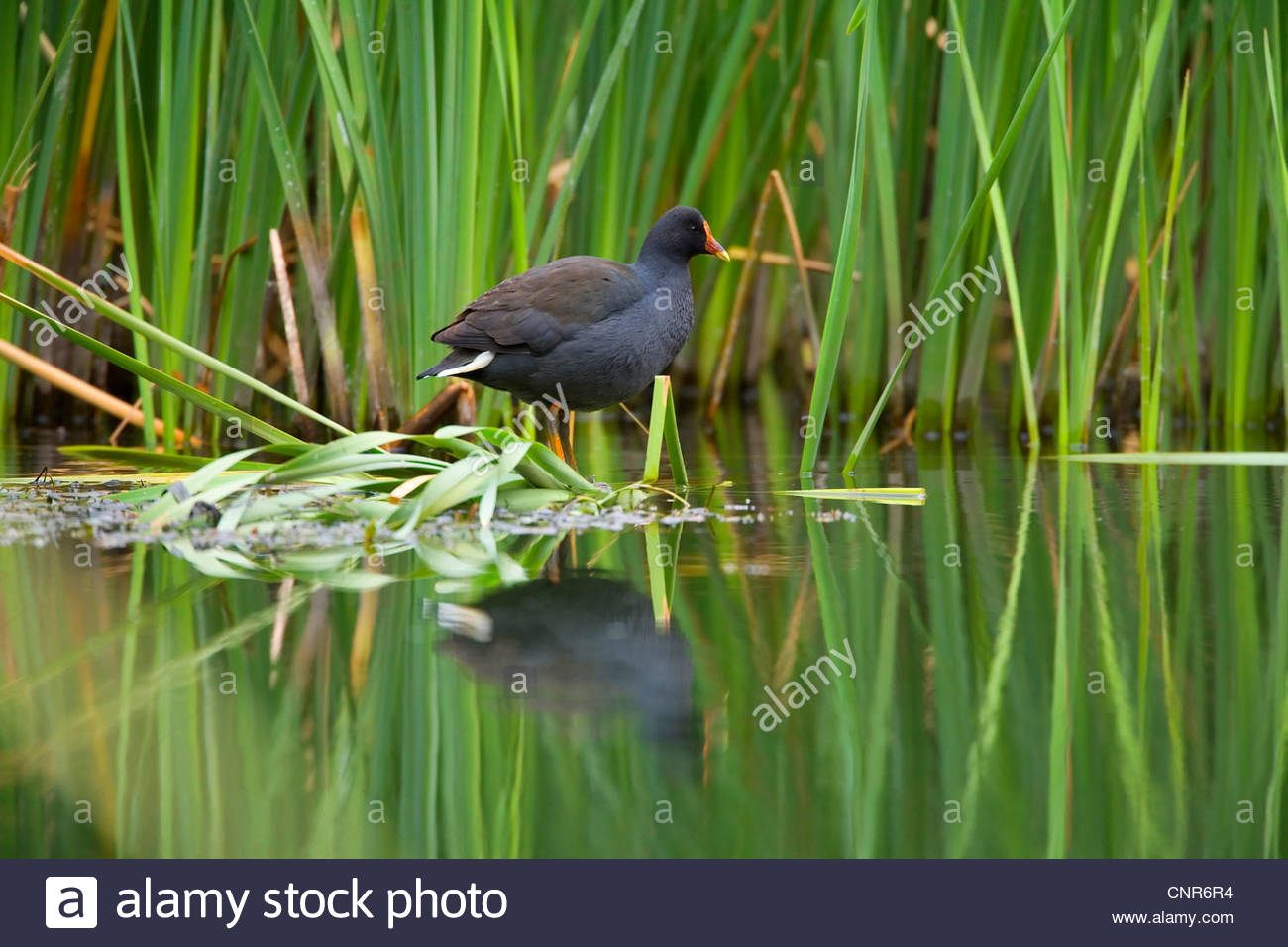 dusky moorhen (Gallinula tenebrosa), adult sits on shore vegetation looking out. The body of the moorhen reflects - Stock Image