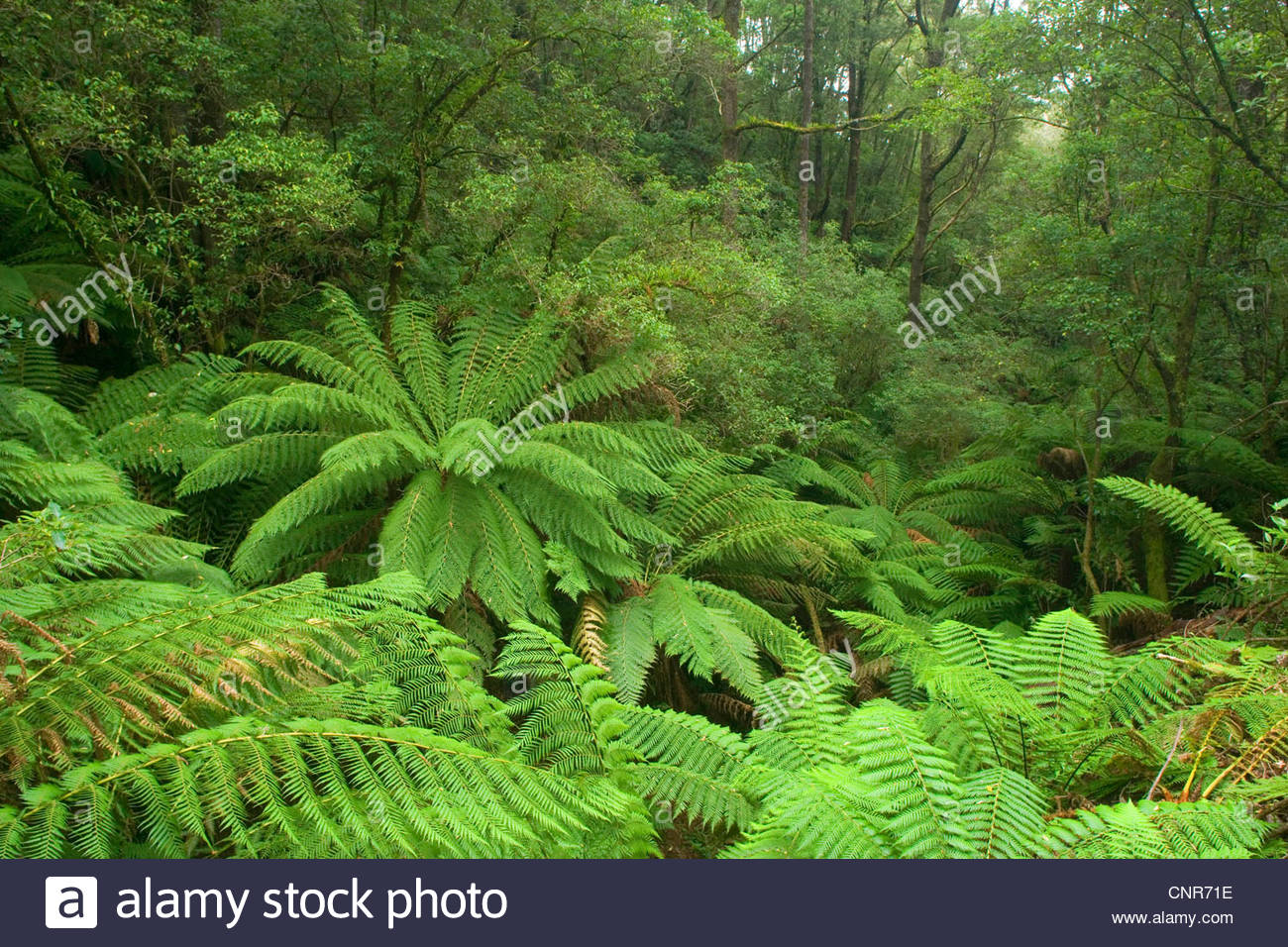 temperate rainforest - a gully with lots and lots of treefern in a lush temperate rainforest , Australia, Victoria, - Stock Image