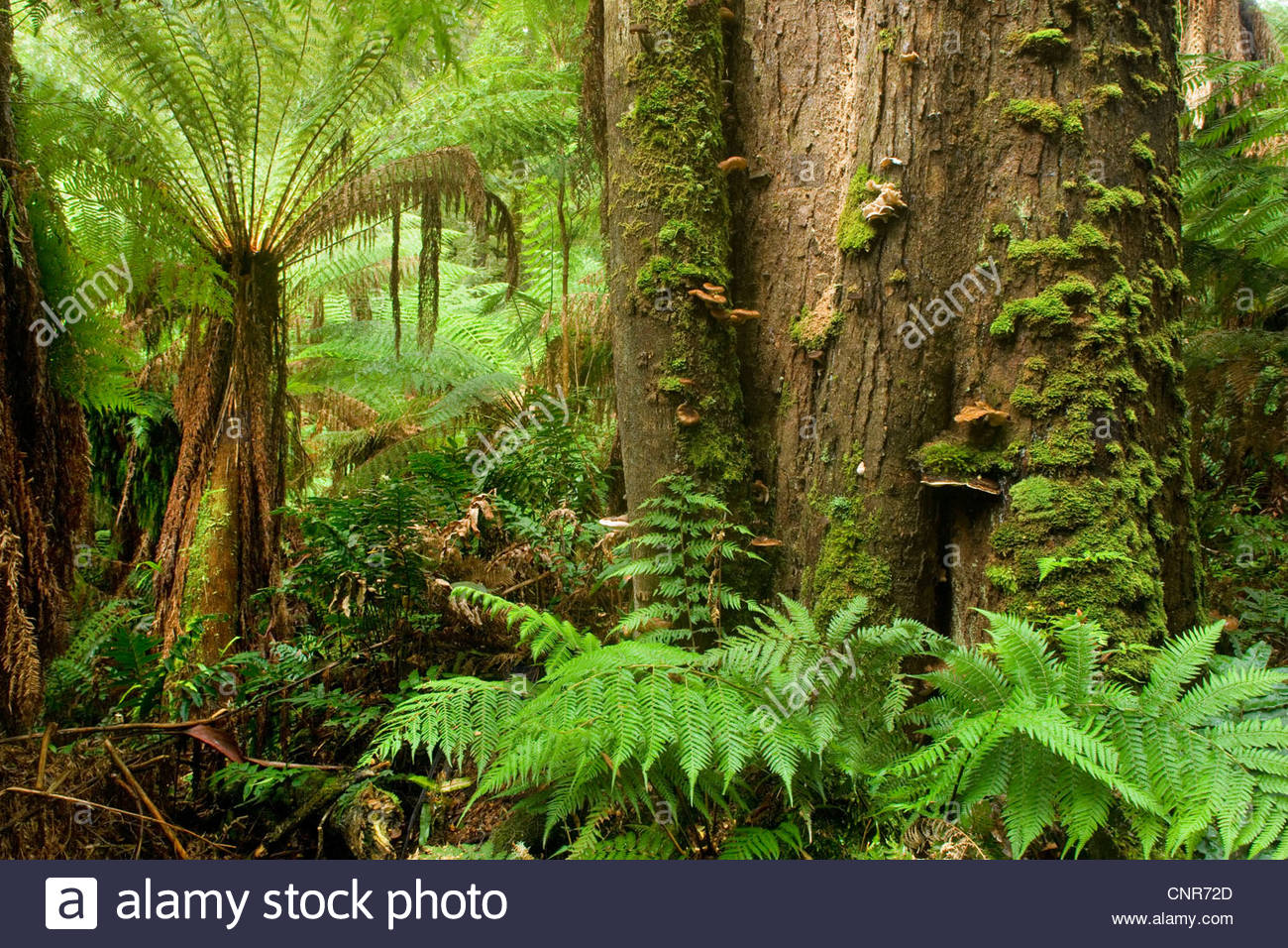 Myrtle Beech (Nothofagus cunninghamii), Temperate rainforest - lush temperate rainforest with Myrtle Beeches, and - Stock Image