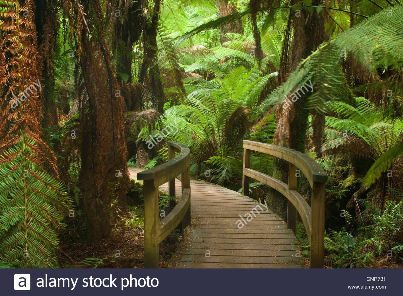 Idyllic path - a path leads through a gully with lots of treefern in a lush temperate rainforest , Australia, Victoria, - Stock Image