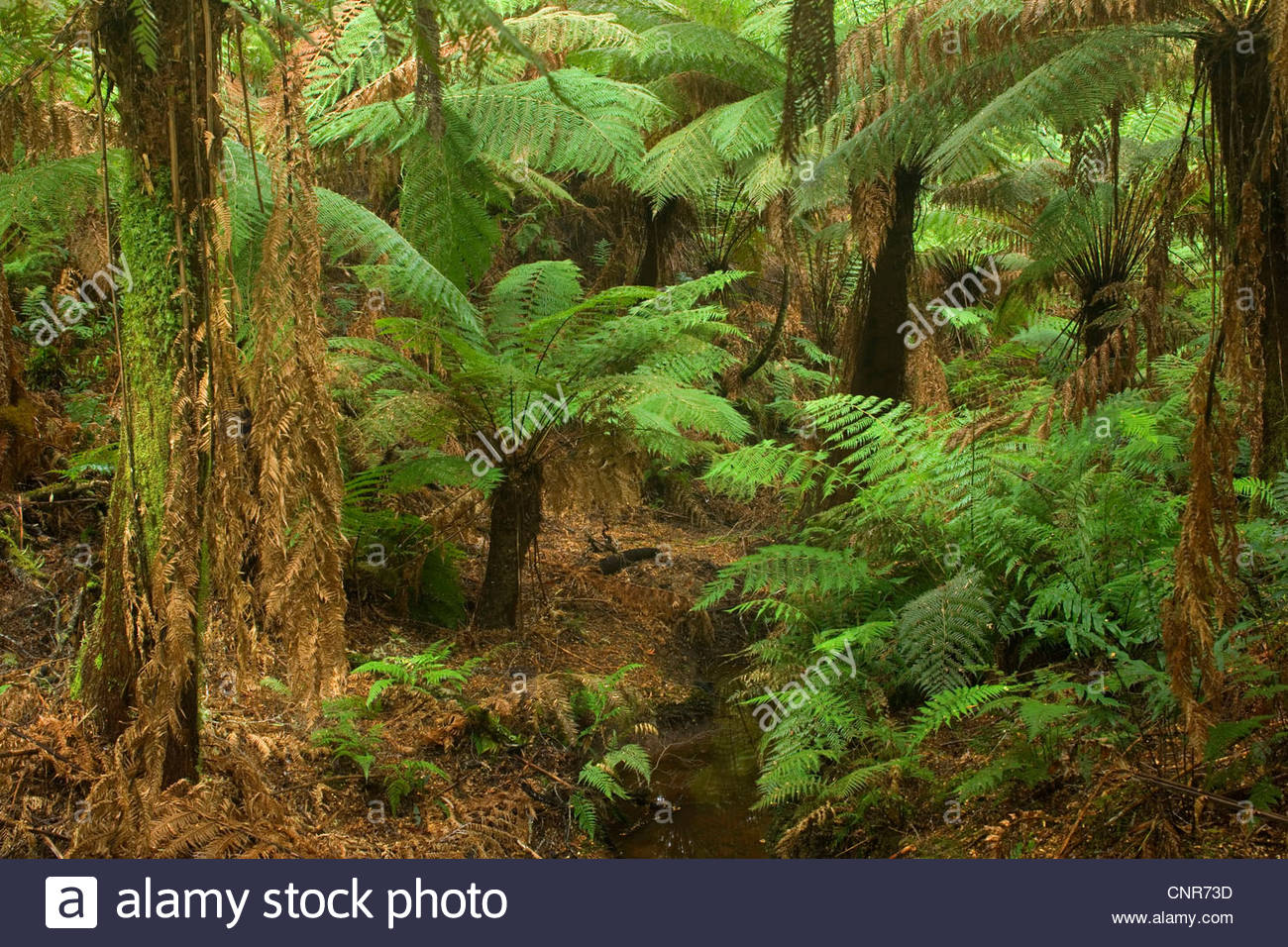 Temperate rainforest - brook flows through a gully with lots of treefern in a lush temperate rainforest , Australia, - Stock Image