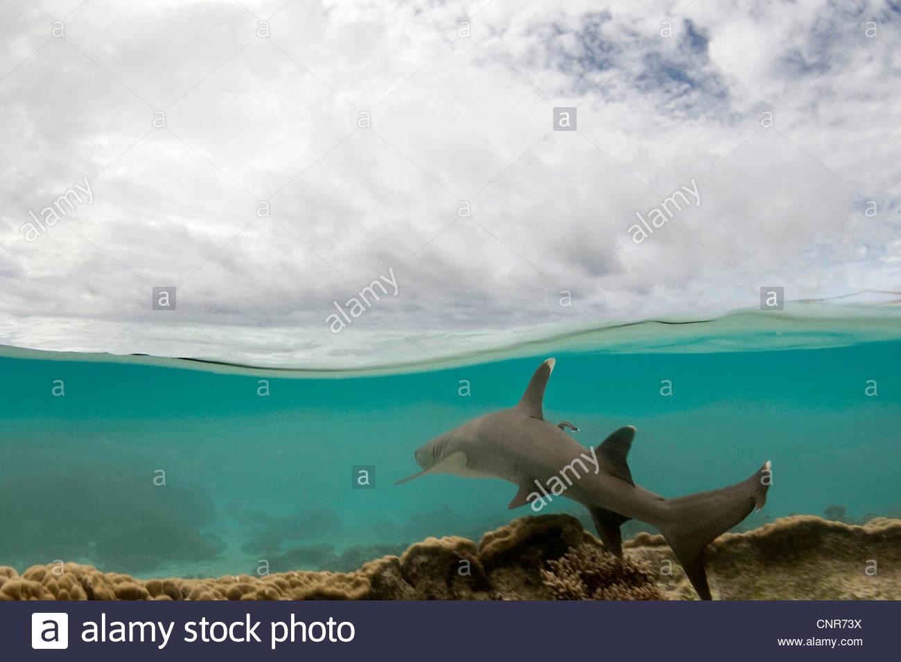 blunthead shark, whitetip reef shark (Triaenodon obesus), split level image of an white tipped reef shark swimming - Stock Image