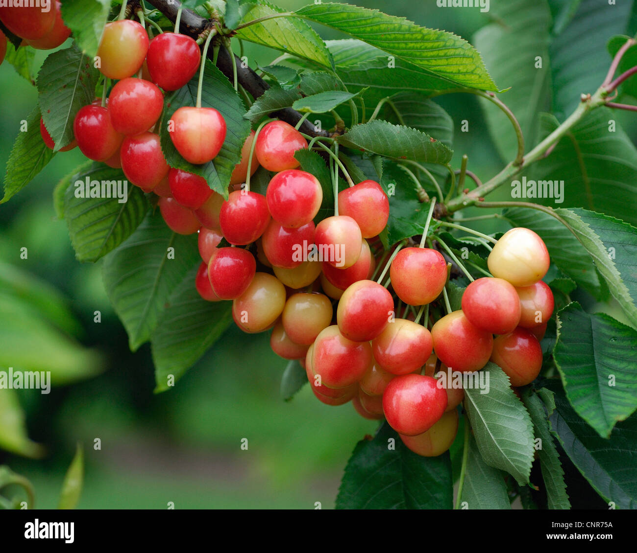 What is sweet cherry 7