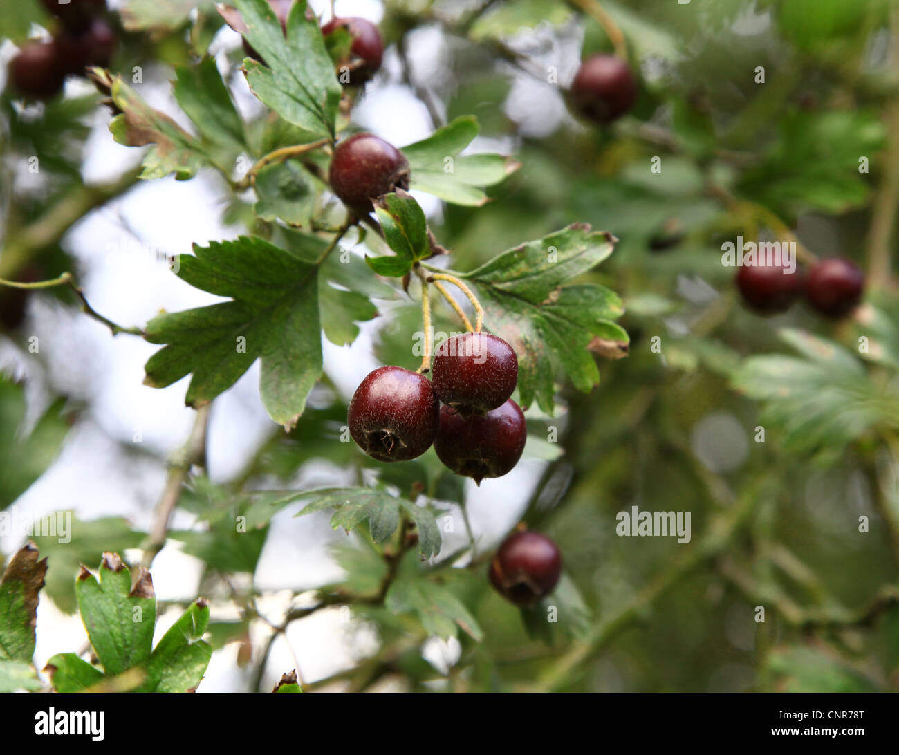 The berries of a large fruting Hawthorn tree Crataegus schraderiana - Stock Image