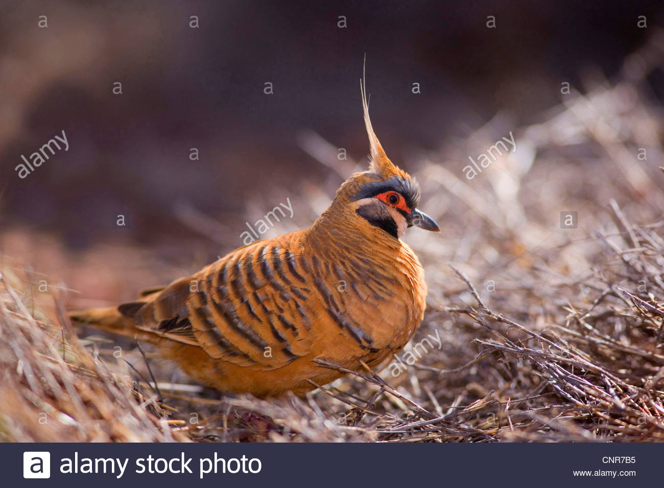 White-bellied Plumed Pigeon, Red-bellied Spinifex Pigeon  (Petrophassa plumifera ferruginea ), adult foraging for - Stock Image