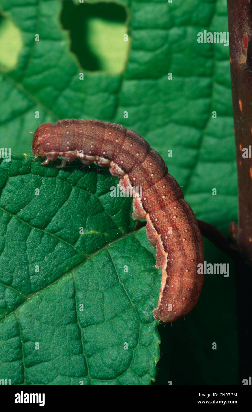 brown spot pinion agrochola litura caterpillar feeding on a leaf