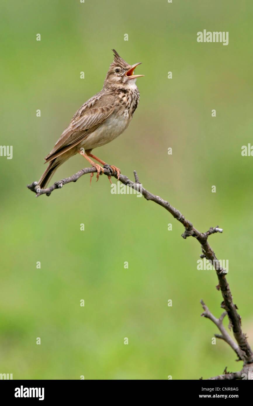 crested lark (Galerida cristata), singing, Europe Stock Photo
