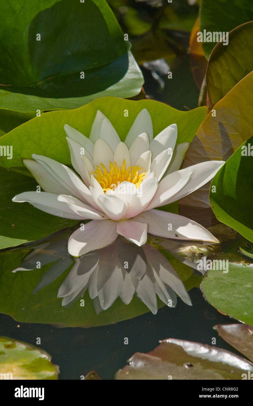 White Water Lily White Pond Lily Nymphaea Alba In Backlight With