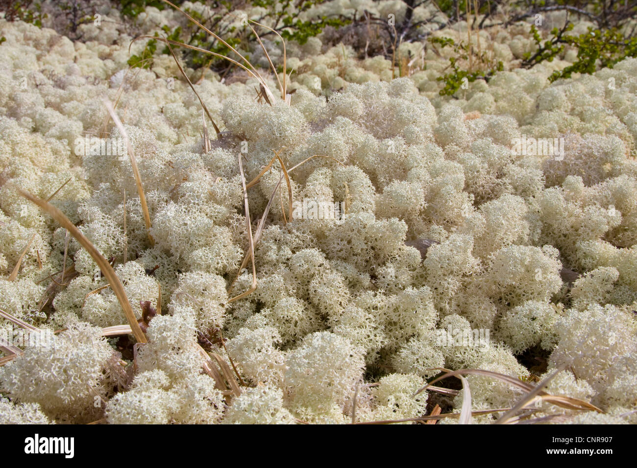 star-tipped reindeer lichen (Cladonia stellaris), group, Norway, Opdal - Stock Image