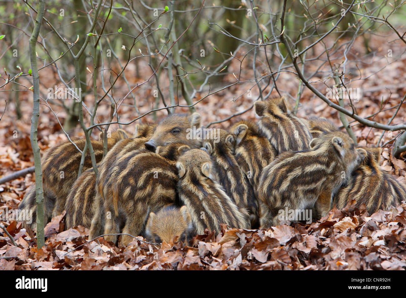 wild boar, pig, wild boar (Sus scrofa), shotes warming each other, Germany, North Rhine-Westphalia, Sauerland - Stock Image