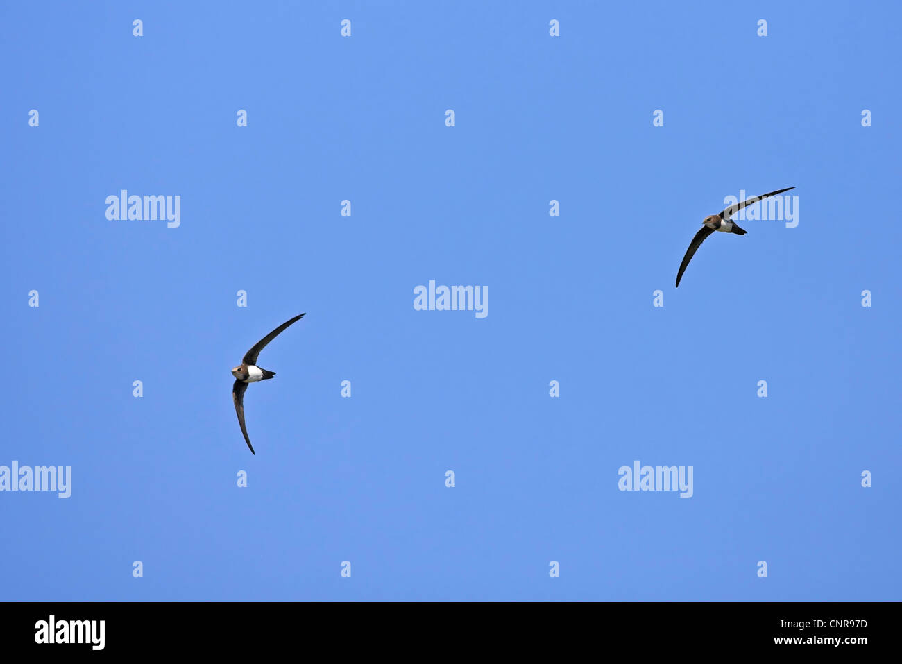 alpine swift (Apus melba, Tachymarptis melba), two individuals flying, Austria Stock Photo