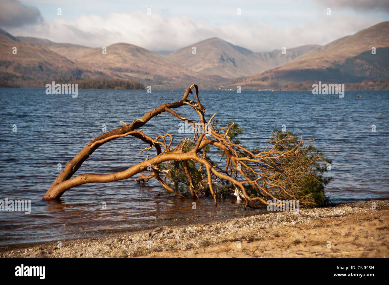 A fallen tree on the shore of Loch Lomond along the West Highland Way in Scotland Stock Photo
