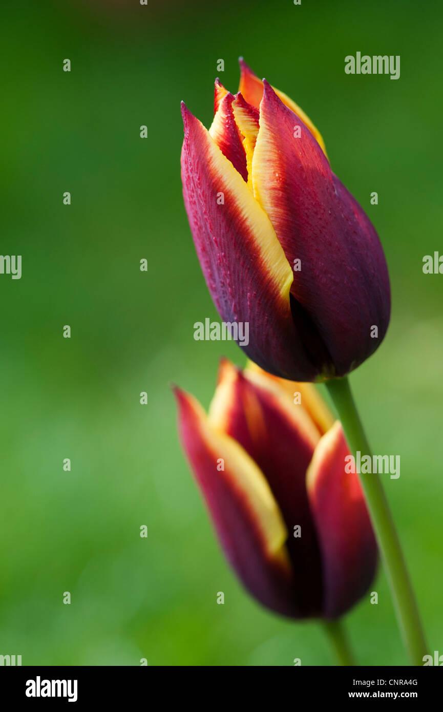 Tulipa. Triumph Tulip Gavota - Stock Image