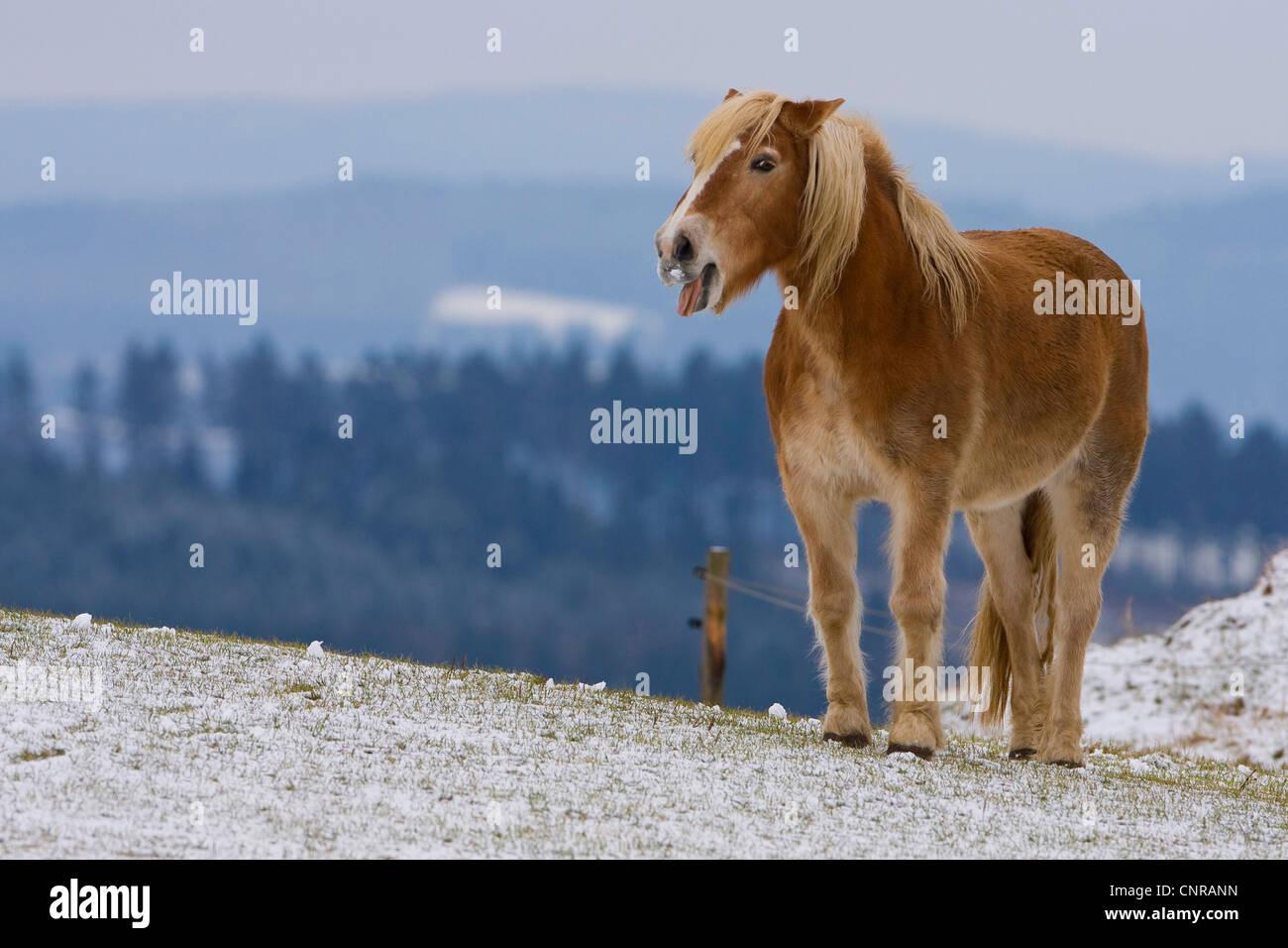 Haflinger horse (Equus przewalskii f. caballus), showing its tounge, Germany, Rhineland-Palatinate - Stock Image