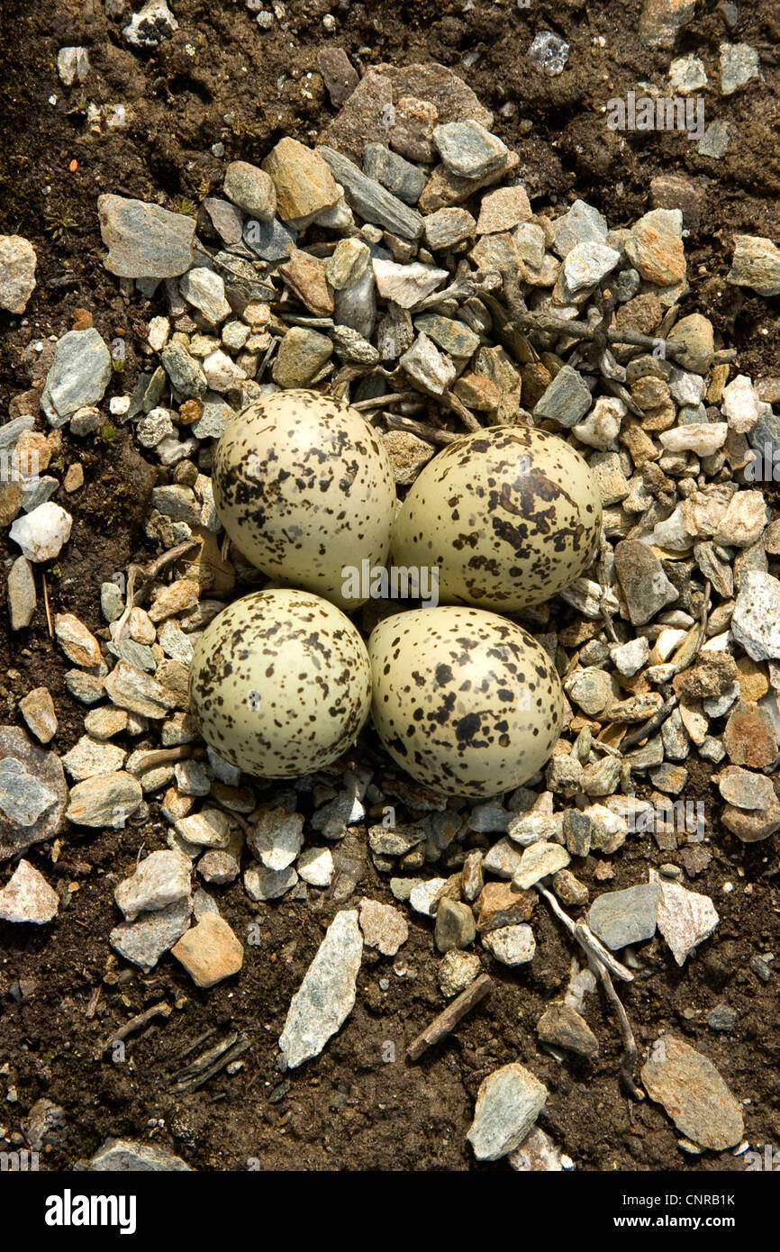 ringed plover (Charadrius hiaticula), nest with eggs, Norway - Stock Image