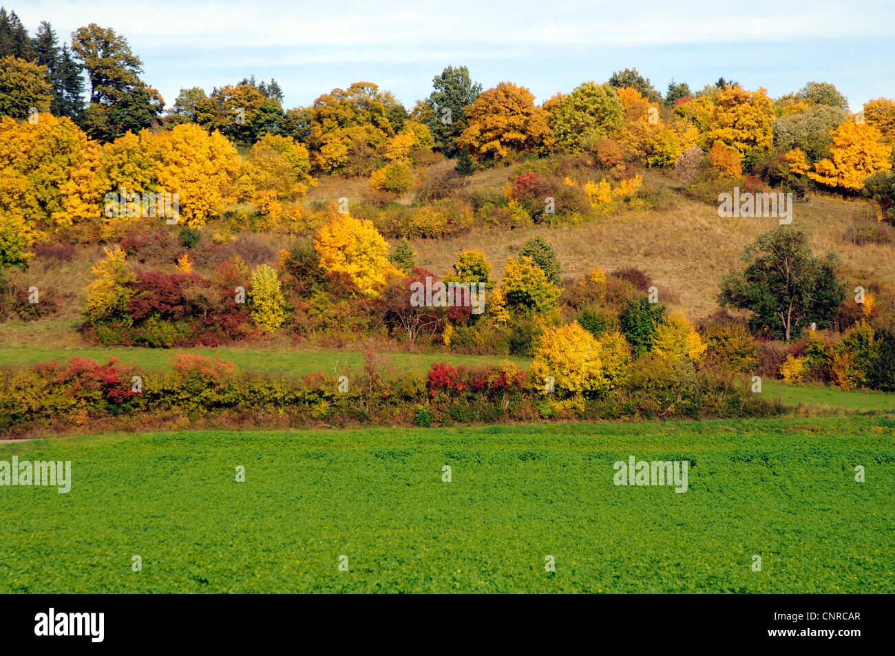 Extensive mature hedge landscape in autumn colours , Germany, Baden-Wuerttemberg, Schwaebische Alb - Stock Image