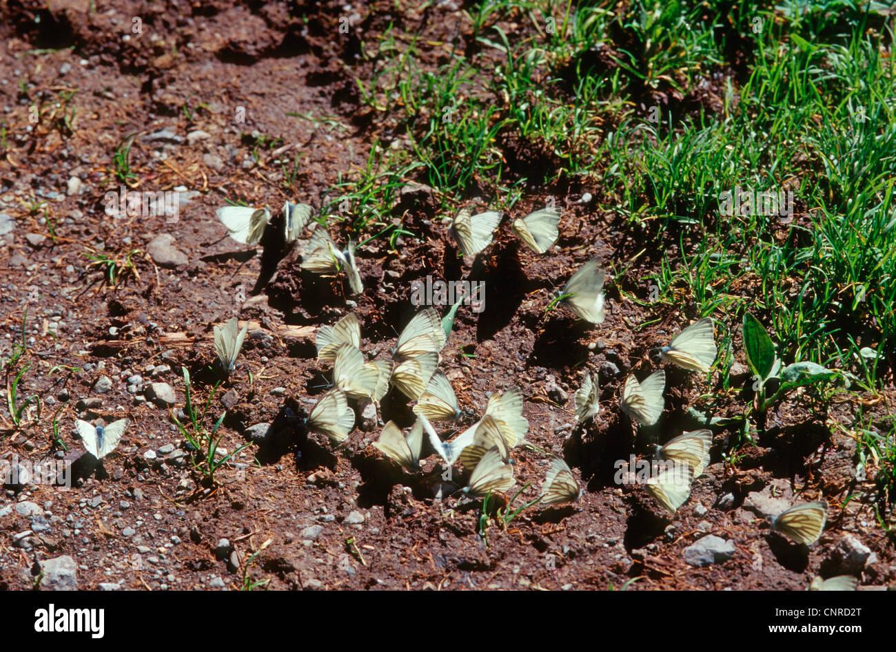 Dark-veined White (Pieris bryoniae, Artogeia bryoniae), over twenty individuals sitting on the ground and sucking - Stock Image