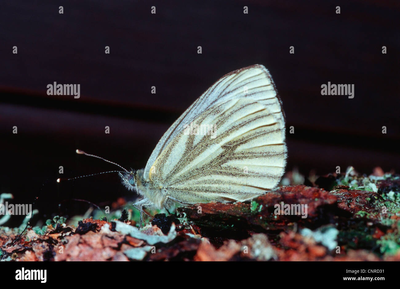 Dark-veined White (Pieris bryoniae, Artogeia bryoniae), sitting on bark, Germany - Stock Image