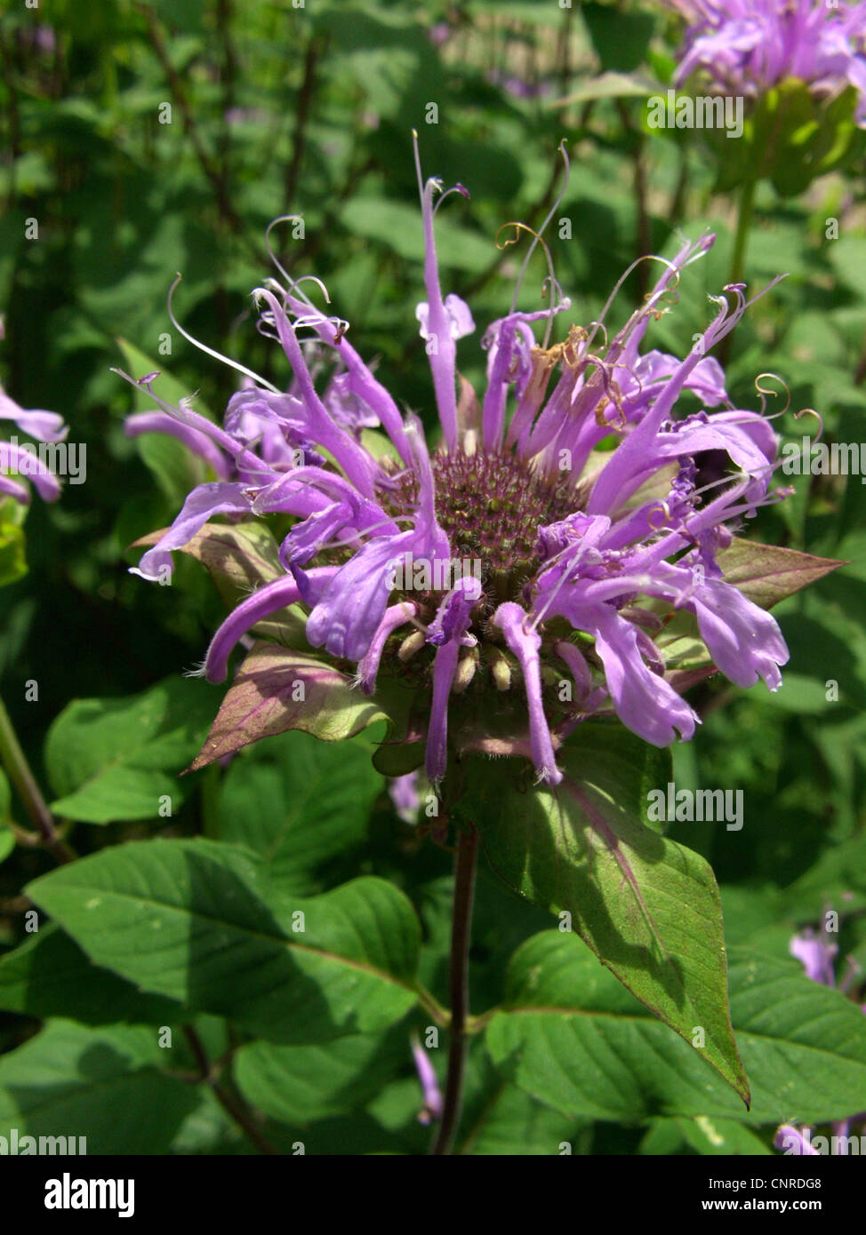 wild bergamot bee-balm (Monarda fistulosa), inflorescence - Stock Image