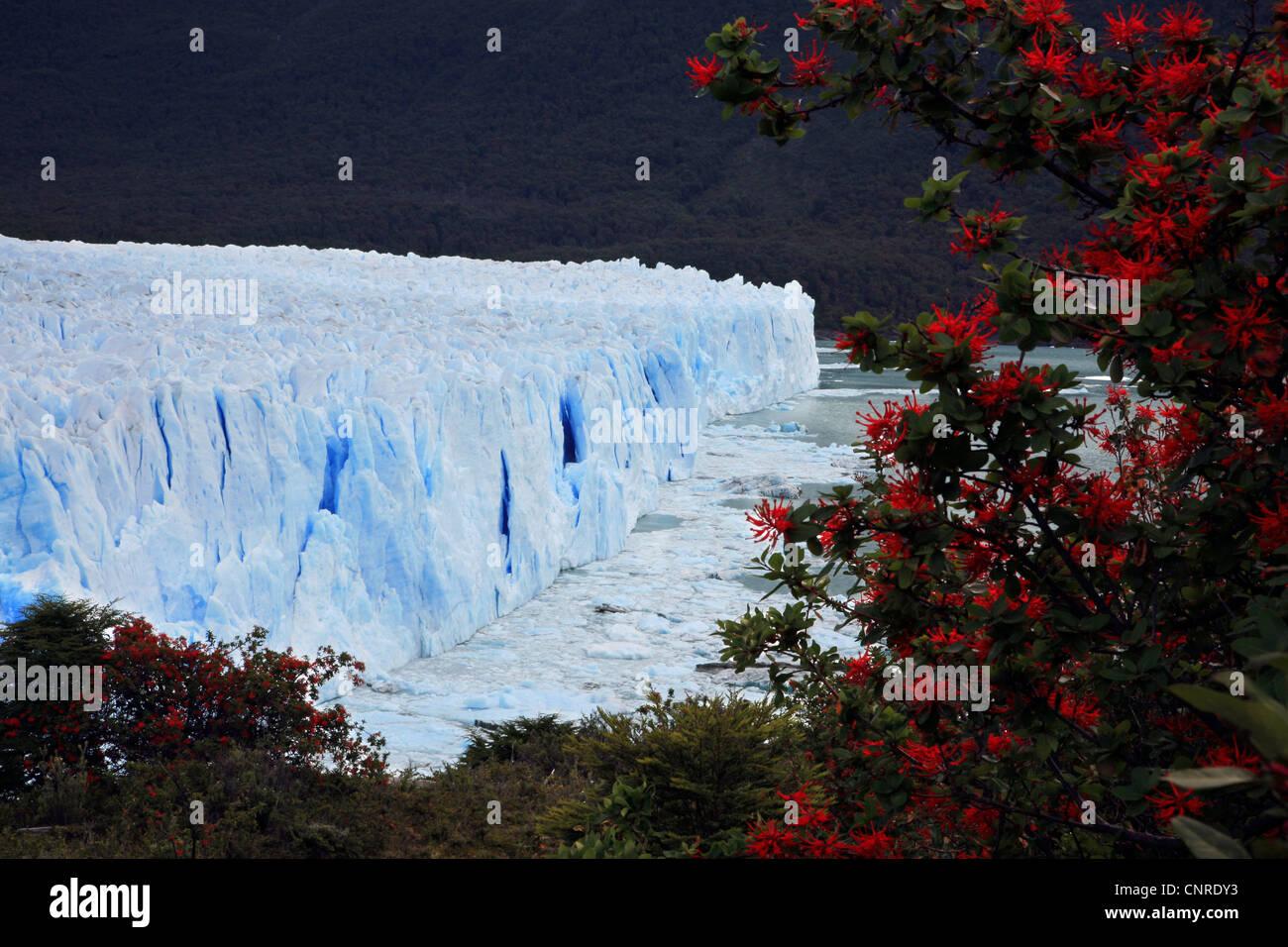 Chilean fire bush (Embothrium coccineum), Glacier Perito Moreno, Argentina, Patagonia - Stock Image