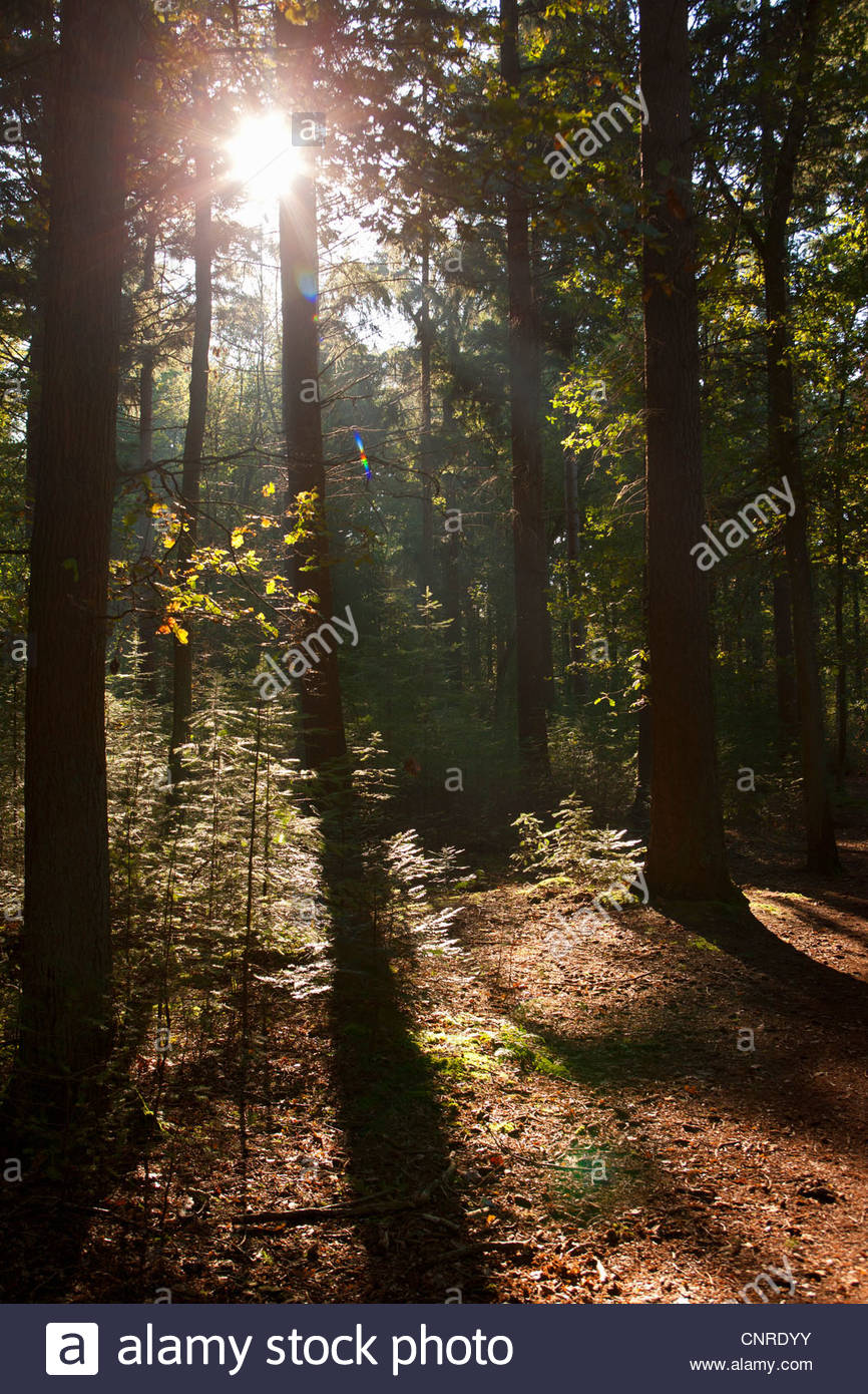 Sun shining through trees in forest Stock Photo