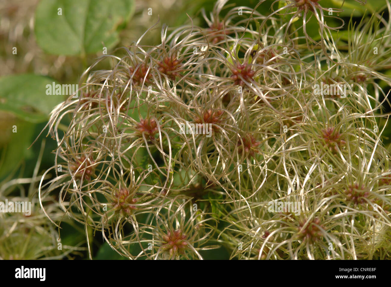 Travelers Joy, Old Man's Beard (Clematis vitalba), wind-dispersal fruits - Stock Image