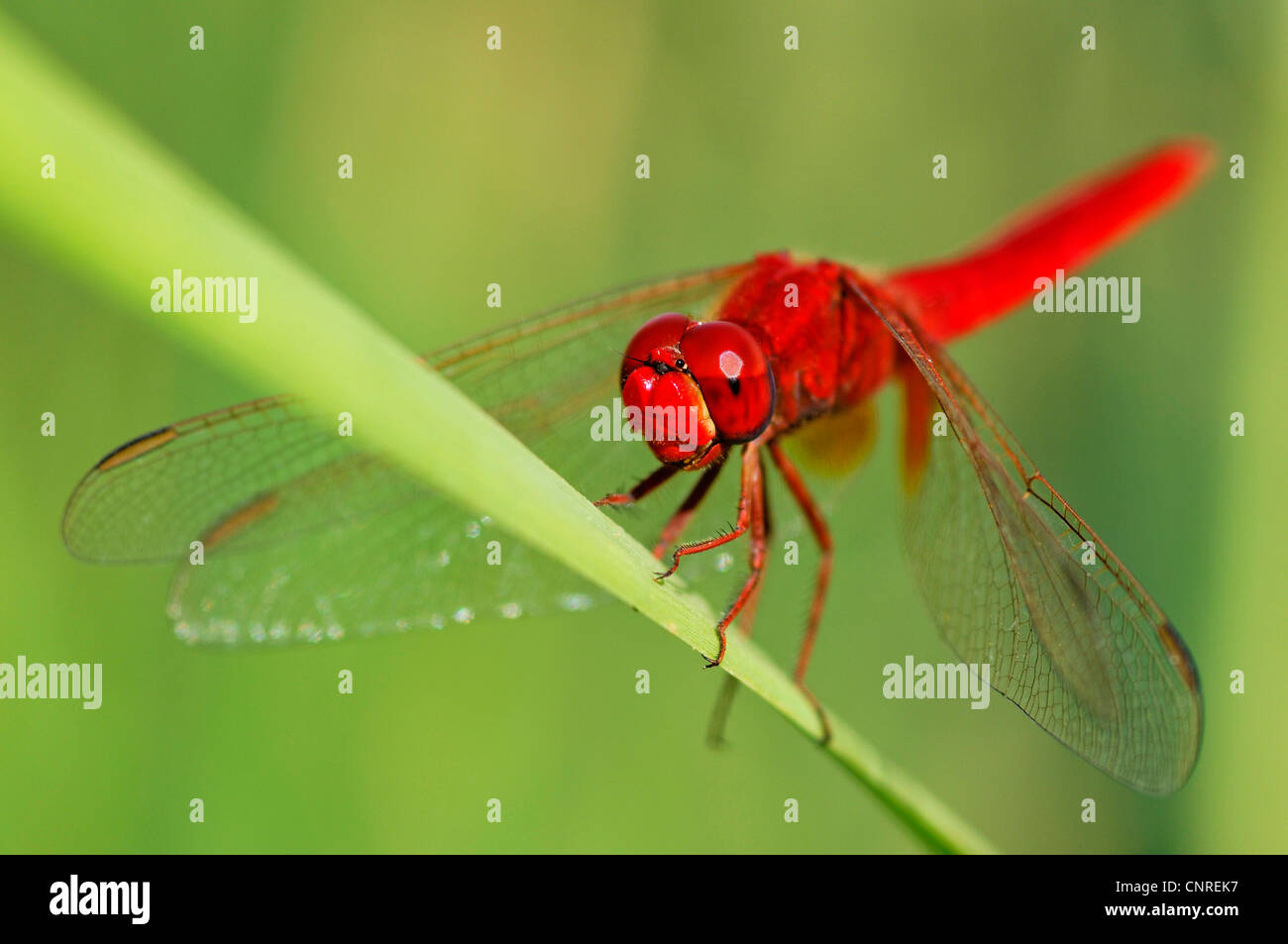 scarlet darter (Crocothemis erythraea), sitting on a green leaf, Egypt, Grosses Sandmeer Stock Photo