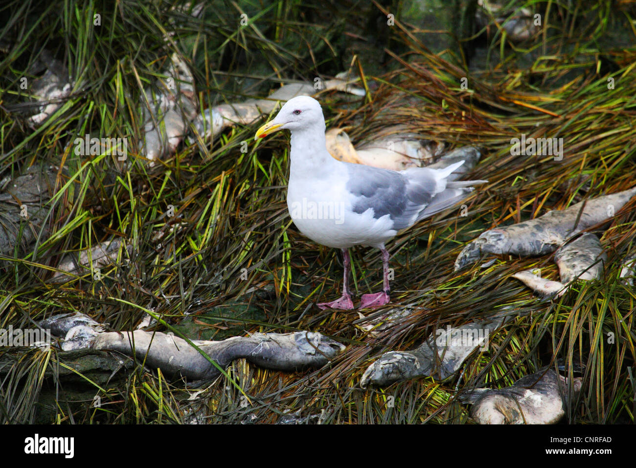 glaucous-winged gull (Larus glaucescens), feeding on salman, USA, Alaska - Stock Image