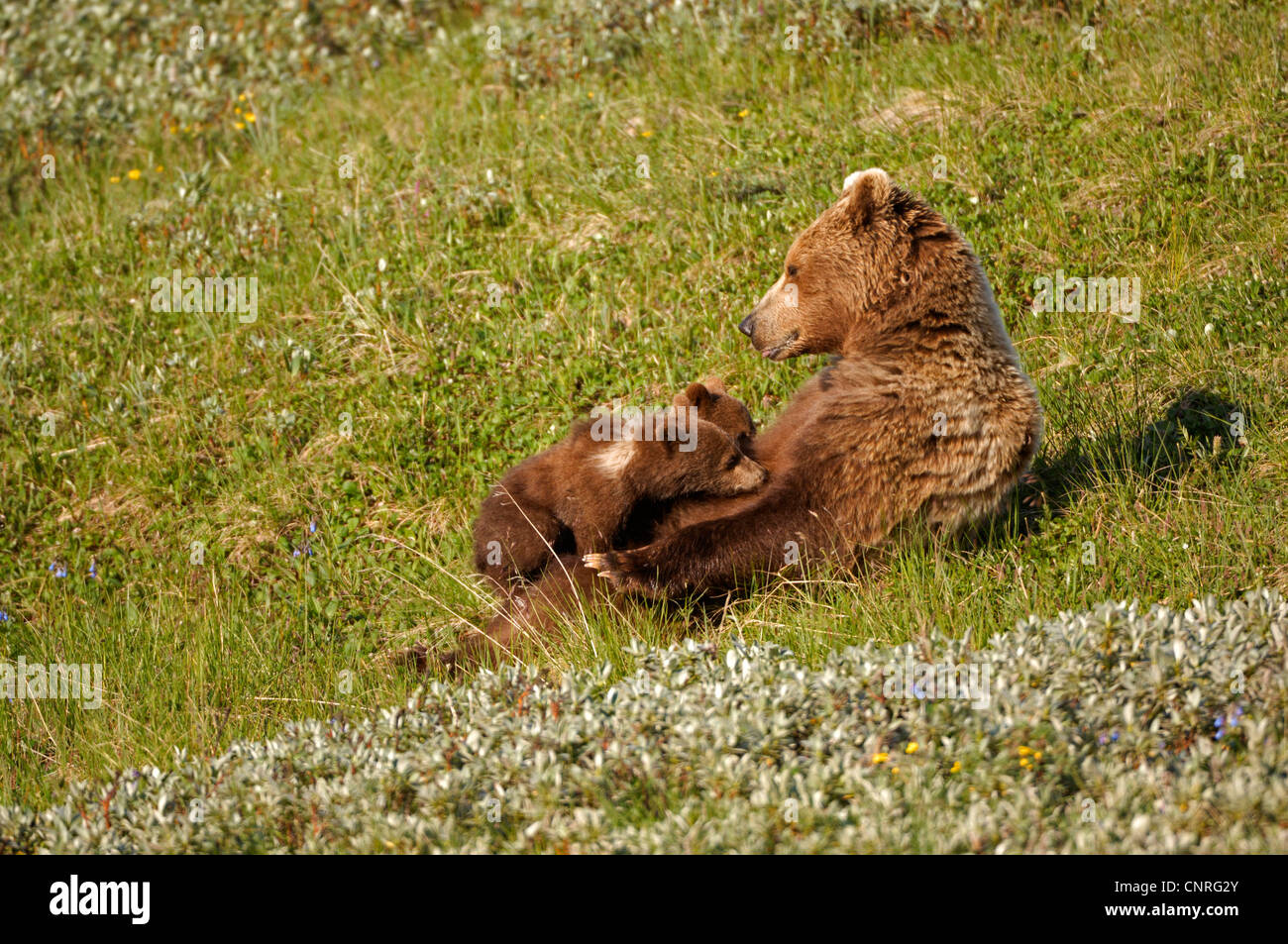 brown bear, grizzly bear (Ursus arctos horribilis), sucklings twins, USA, Alaska, Denali Nationalpark Stock Photo