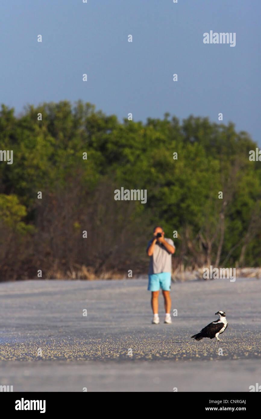 osprey, fish hawk (Pandion haliaetus), tourist approaches an osprey until it flies off, USA, Florida, Little Estero - Stock Image