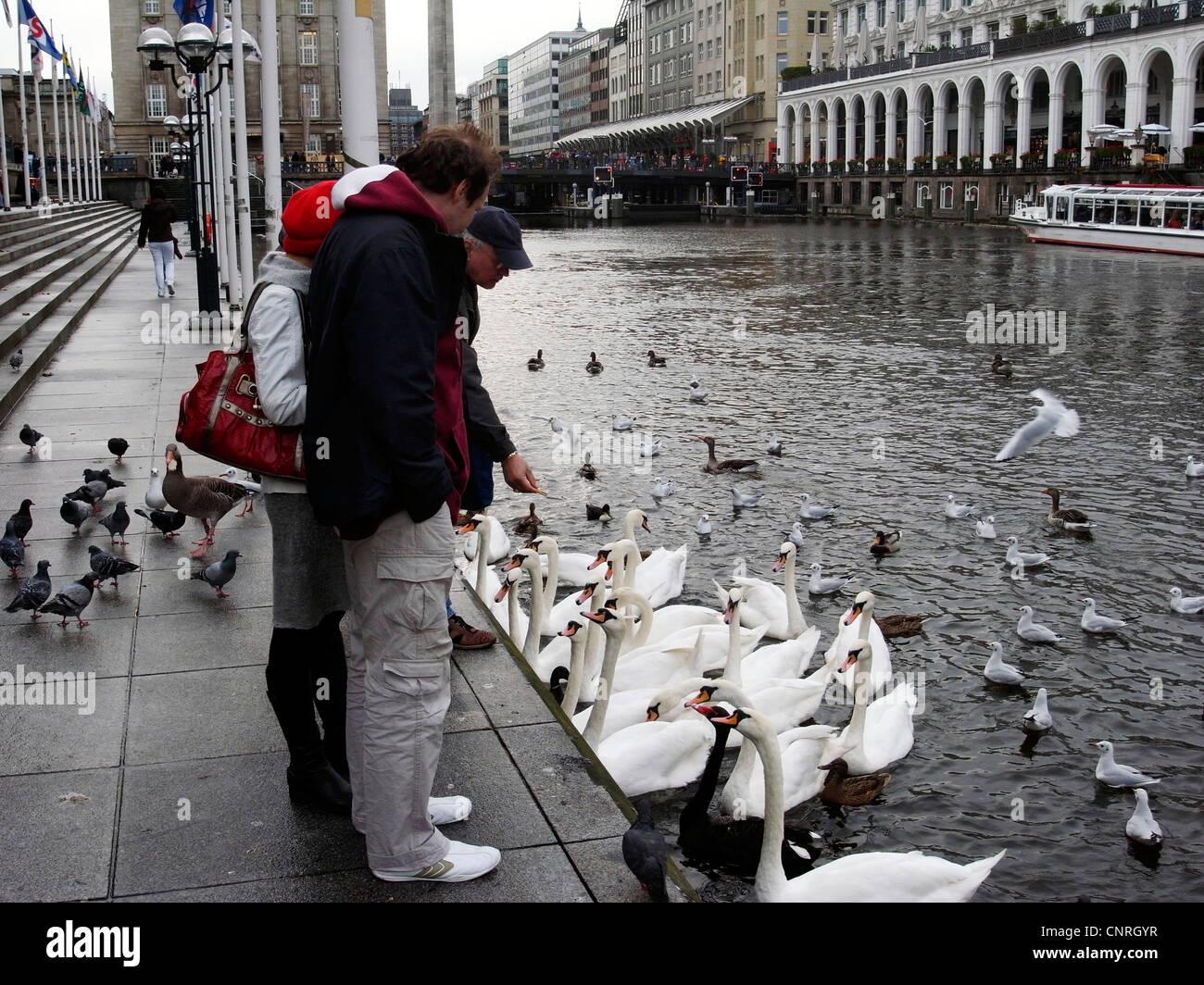 mute swan (Cygnus olor), persons feeding mute swans, Hamburg - Stock Image