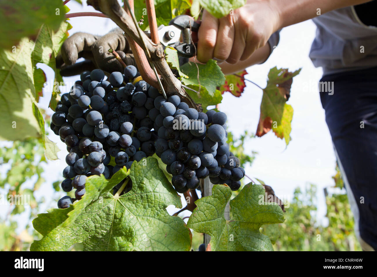 Worker harvesting grapes, cropped - Stock Image