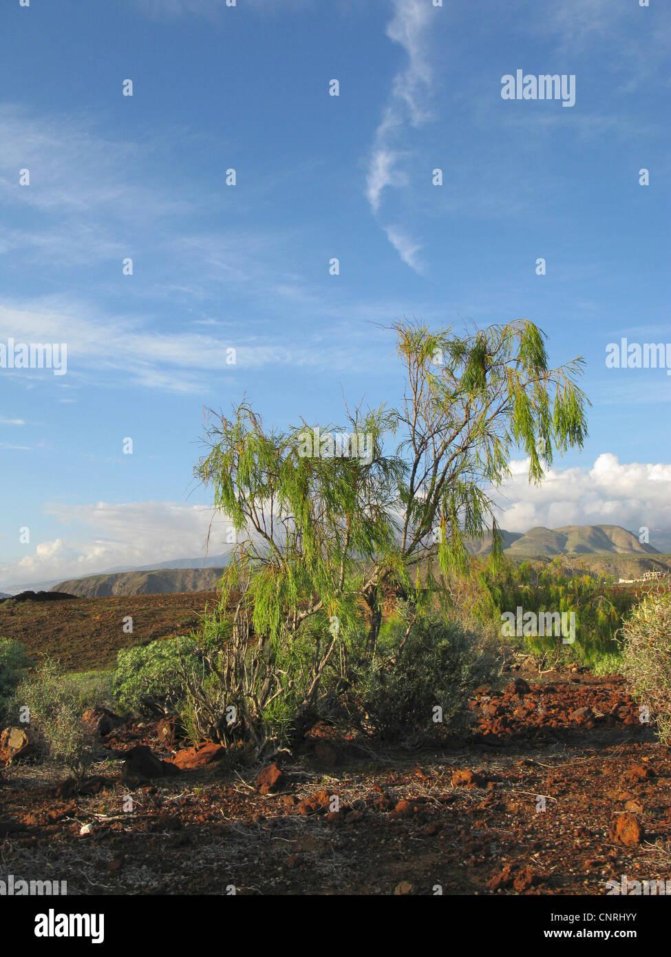 Plocama (Periploca pendula), in coastal vegetation, endemic to the Canary Islands, Canary Islands, Tenerife - Stock Image