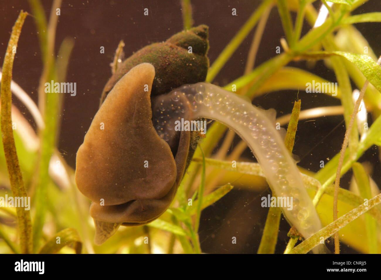 wandering pondsnail (Radix peregra), spawning, Germany, Bavaria - Stock Image