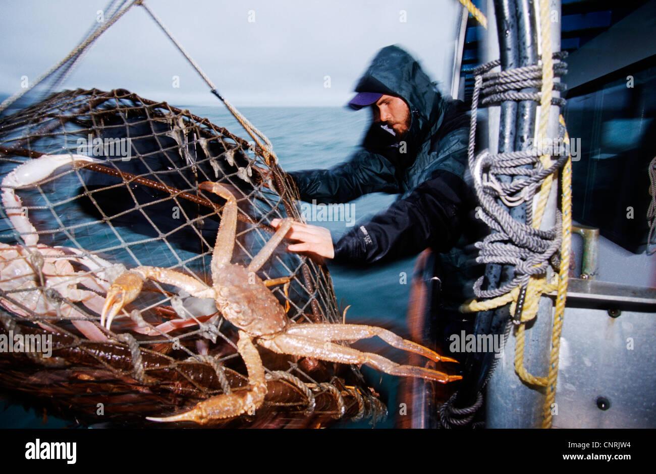 Krabbenfischer Dmax