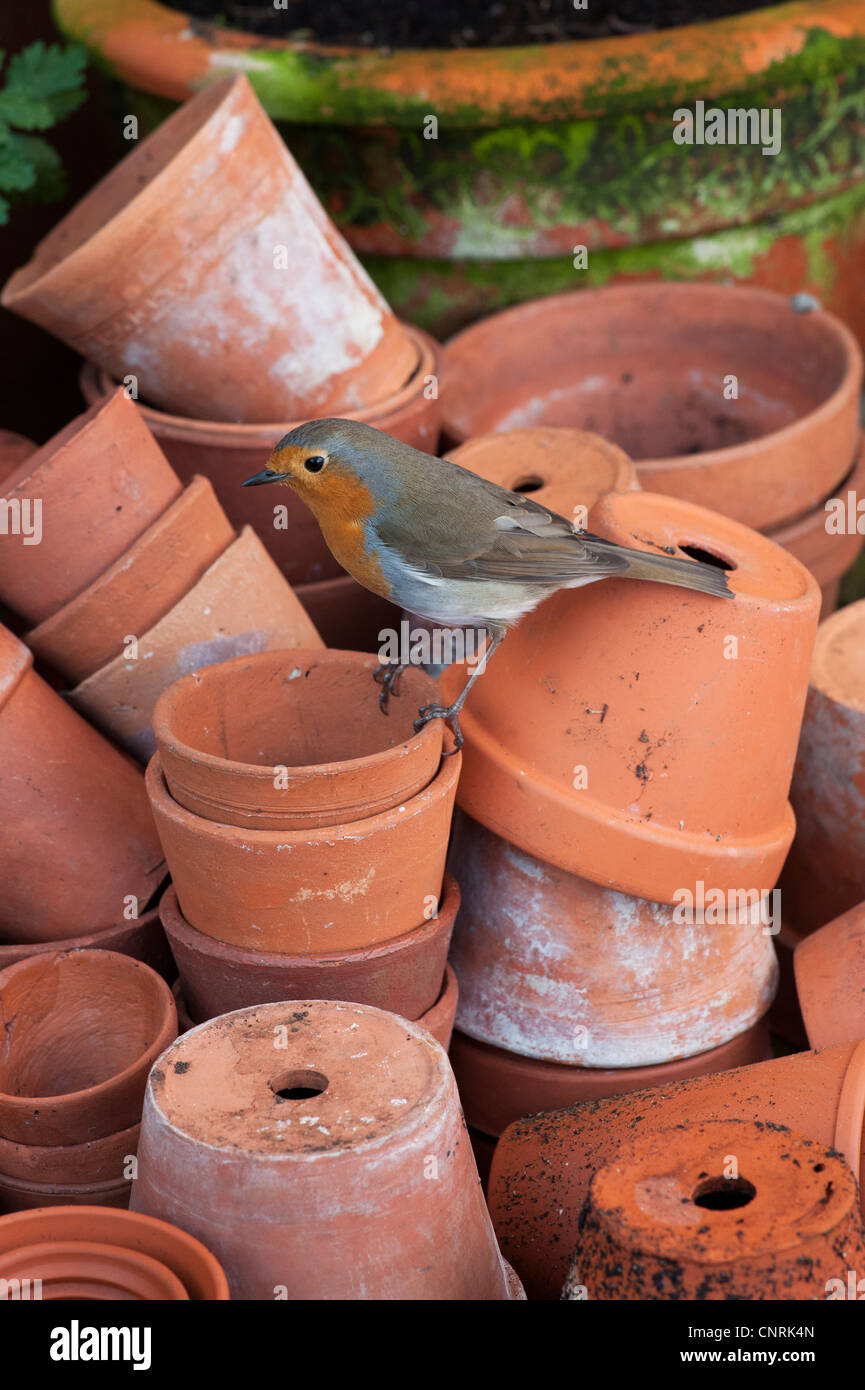 Erithacus rubecula. Robin perched on a stack of flowerpots Stock Photo