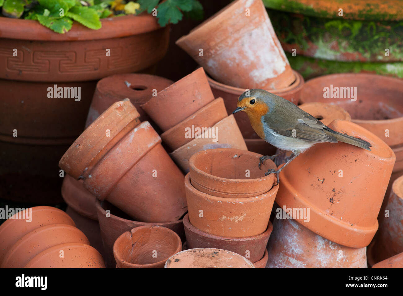 Erithacus rubecula. Robin perched on a stack of flowerpots - Stock Image