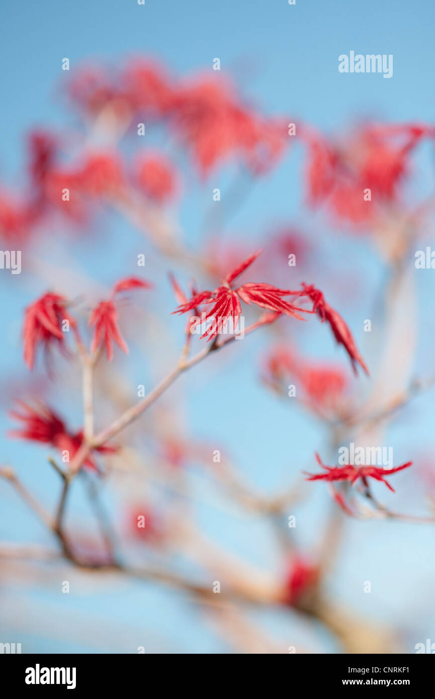 Acer Palmatum Deshojo. Bonsai Japanese maple tree leaves against a blue sky Stock Photo