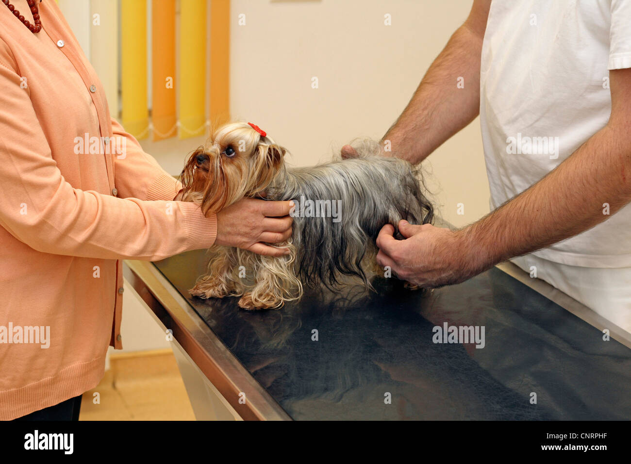 Yorkshire Terrier (Canis lupus f. familiaris), is under examination by a veterinary - Stock Image