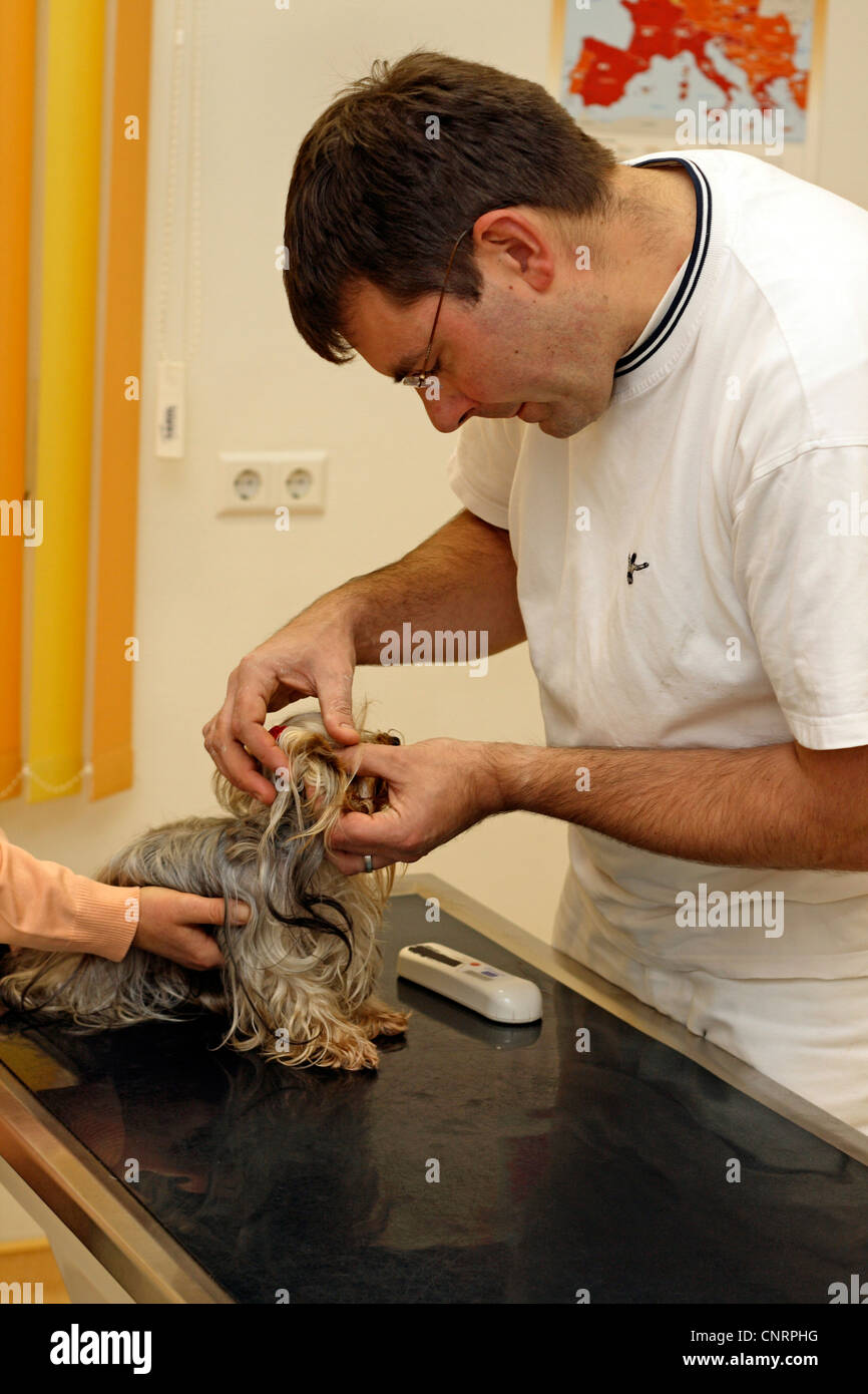 Yorkshire Terrier (Canis lupus f. familiaris), ears are under examination by a veterinary - Stock Image