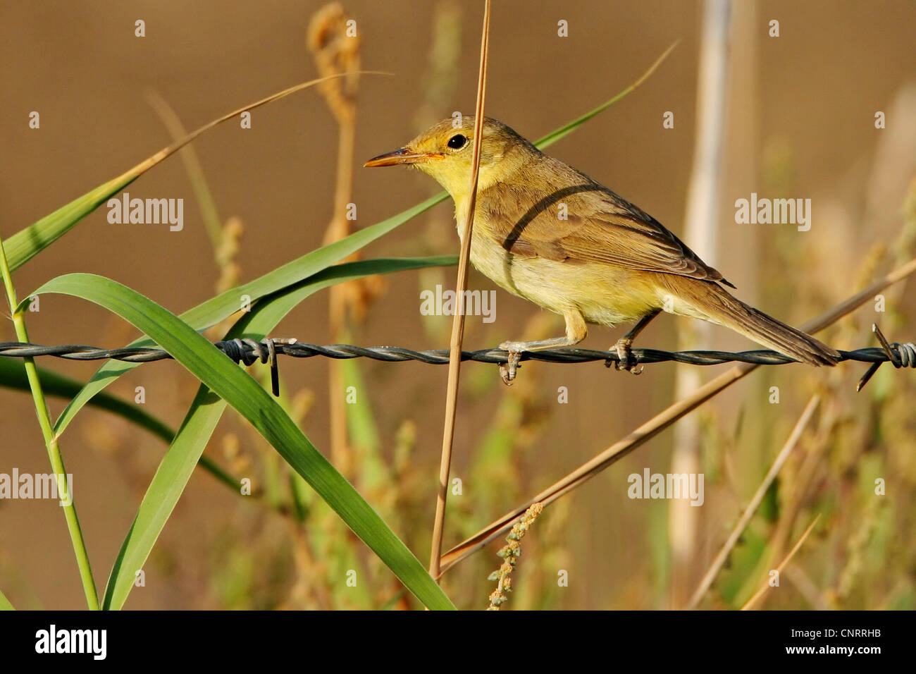 melodious warbler (Hippolais polyglotta), on barbed wire fence Stock ...