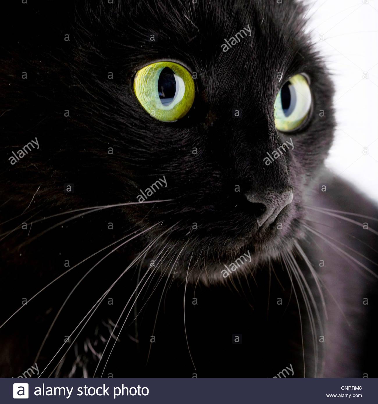 Portrait of a black cat - Stock Image