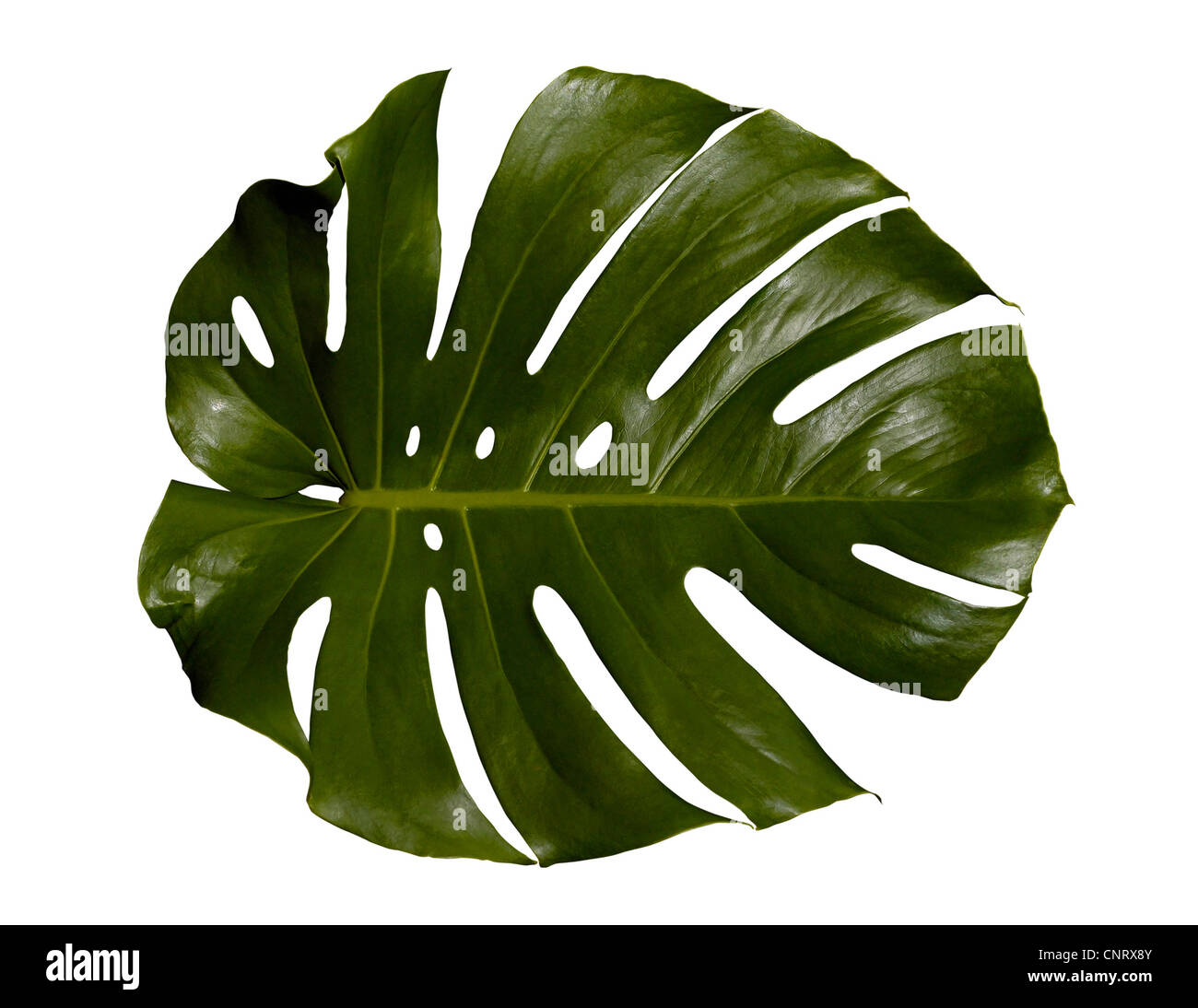 swiss cheese plant and indoor stock photos swiss cheese plant and indoor stock images alamy. Black Bedroom Furniture Sets. Home Design Ideas