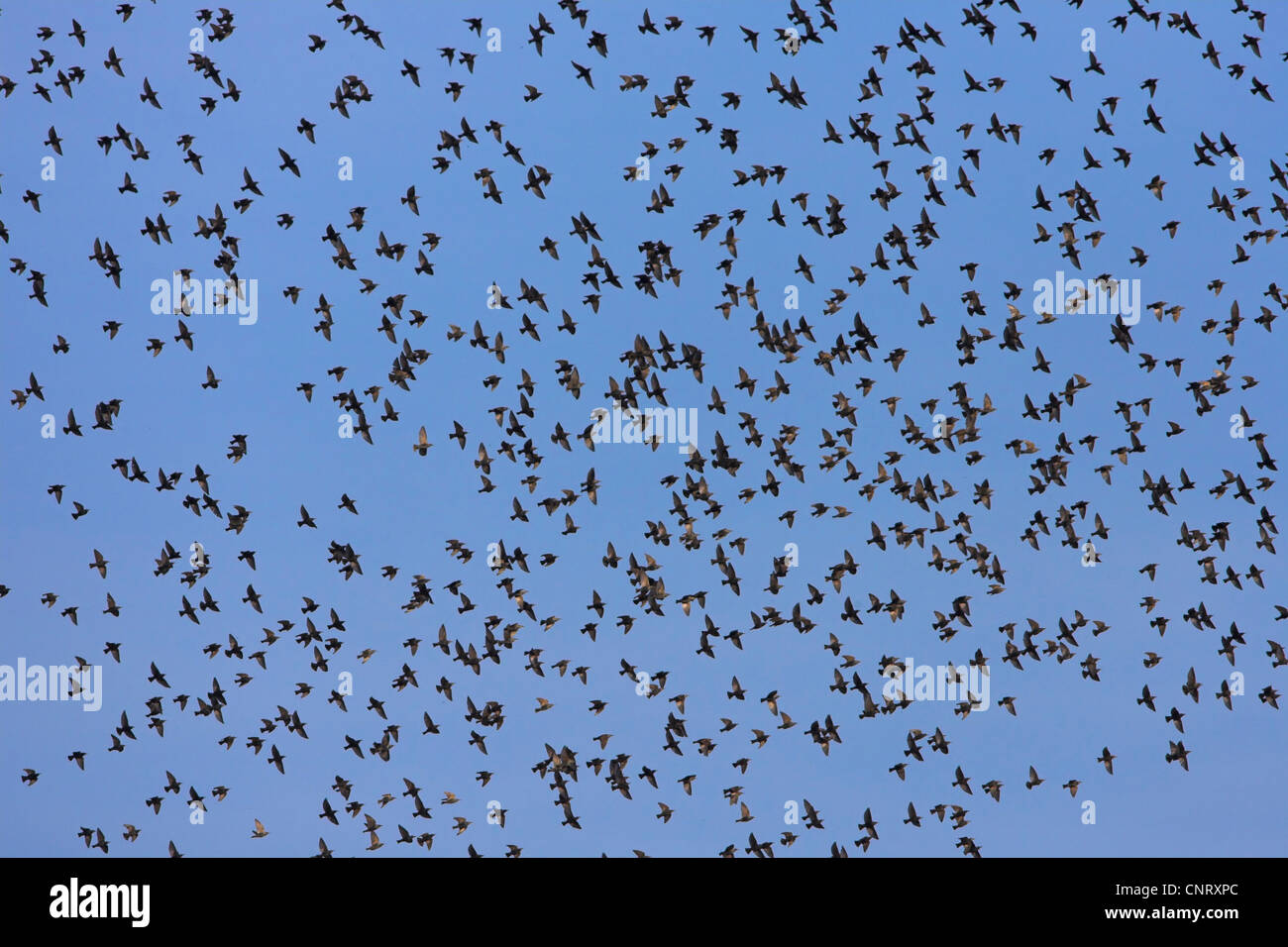 common starling (Sturnus vulgaris), flying flock, Germany, Rhineland-Palatinate Stock Photo