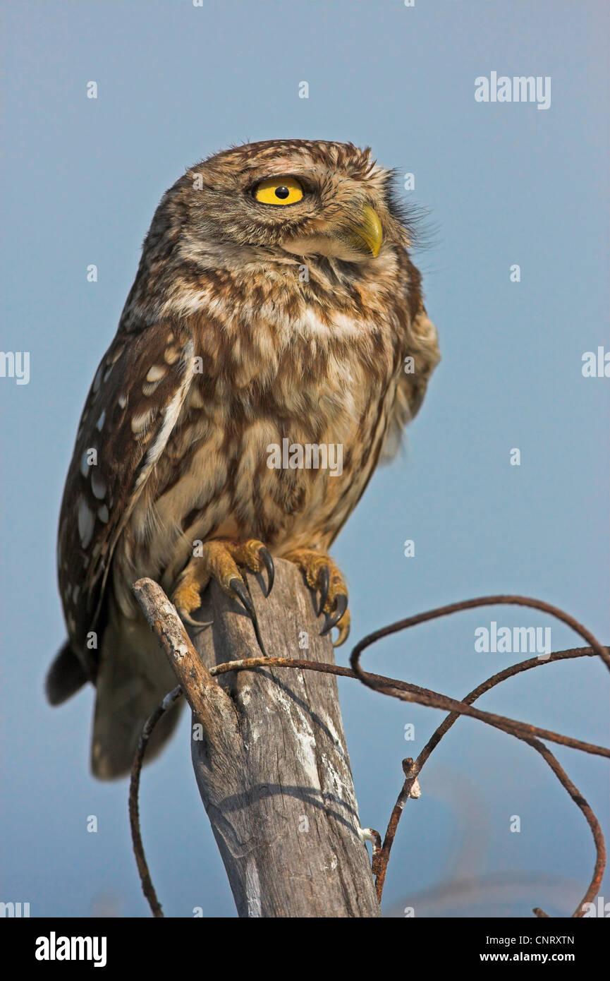 little owl (Athene noctua), sitting on a pile, Greece, Lesbos - Stock Image