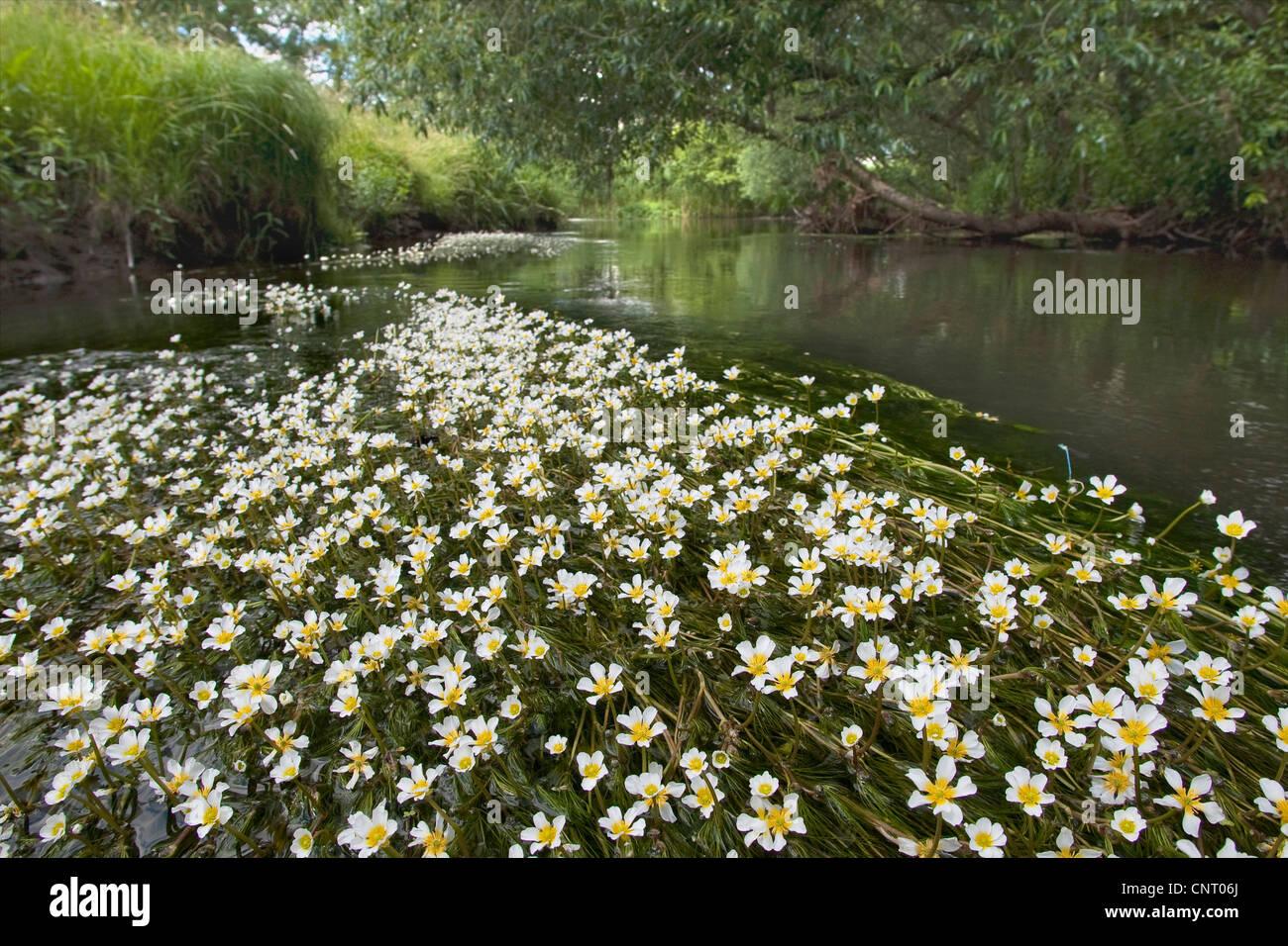 river water-crowfoot (Ranunculus fluitans), creek with flowering water-crowfoot, Germany - Stock Image